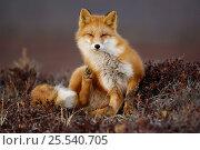 Red Fox (Vulpes vulpes) scratching in tundra, Kronotsky Zapovednik, Kamchatka, Russia. Редакционное фото, фотограф Igor Shpilenok / Nature Picture Library / Фотобанк Лори