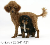 Купить «Red Toy Poodle puppy, Reggie, with black-and-tan Cavalier King Charles Spaniel puppy.», фото № 25541421, снято 5 декабря 2019 г. (c) Nature Picture Library / Фотобанк Лори