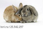 Купить «Sandy Lionhead rabbit nuzzling agouti Lop rabbit.», фото № 25542297, снято 20 октября 2019 г. (c) Nature Picture Library / Фотобанк Лори
