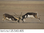 Blackbuck (Antilope cervicapra) two males fighting, Rajasthan, India. Стоковое фото, фотограф Bernard Castelein / Nature Picture Library / Фотобанк Лори