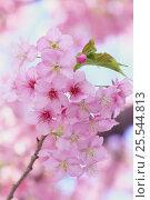 Купить «Cherry blossom {Prunus Cerasus  lannesiana `Kawazu-zakura'} Shizuoka, Japan», фото № 25544813, снято 24 сентября 2018 г. (c) Nature Picture Library / Фотобанк Лори