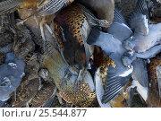 Купить «Dead Pheasants, Pigeons and Snipe, shot during shoot, UK», фото № 25544877, снято 19 августа 2018 г. (c) Nature Picture Library / Фотобанк Лори