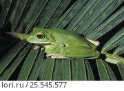 Купить «White-lipped tree frog {Litoria infrafrenata} on Heliconia palm frond, Queensland, Australia», фото № 25545577, снято 20 июля 2019 г. (c) Nature Picture Library / Фотобанк Лори