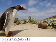 Gentoo penguin {Pygoscelis papua} confronting Brown Skua {Catharacta antarctica} with chick, Falkland Islands. Стоковое фото, фотограф Solvin Zankl / Nature Picture Library / Фотобанк Лори