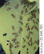 Купить «Swarm of Cotton Stainer bugs {Dysdercus philippinus} on leaf of Parasol Leaf Tree, Okinawa, Japan», фото № 25545781, снято 15 декабря 2017 г. (c) Nature Picture Library / Фотобанк Лори