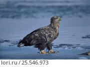 Купить «White-tailed Eagle {Haliaeetus albicilla} on ice drift, Shiretoko, Hokkaido, Japan», фото № 25546973, снято 24 марта 2019 г. (c) Nature Picture Library / Фотобанк Лори