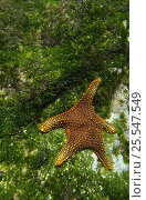 Купить «Panamic cushion star (Pentaceraster cumingi) underwater on algae covered rock, Fernandina Island, Galapagos Islands, South America», фото № 25547549, снято 20 августа 2018 г. (c) Nature Picture Library / Фотобанк Лори