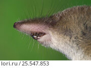 Купить «Close up of head of Shrew (Sorex sp), showing nose, whiskers and teeth, Belgium - captive», фото № 25547853, снято 14 декабря 2019 г. (c) Nature Picture Library / Фотобанк Лори