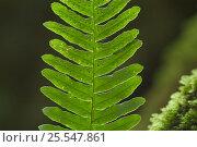 Купить «Frond of Common polypody fern {Polypodium vulgare} showing spores on underside, Belgium», фото № 25547861, снято 17 августа 2018 г. (c) Nature Picture Library / Фотобанк Лори