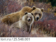 Купить «Brown bear {Ursus arctos} mother and cub, fattened-up and ready to hibernate, Kronotsky Zapovednik Reserve, Russia.», фото № 25548001, снято 20 августа 2019 г. (c) Nature Picture Library / Фотобанк Лори