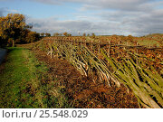Купить «Country lane with newly cut and laid hedge, Warwickshire, UK.», фото № 25548029, снято 19 августа 2018 г. (c) Nature Picture Library / Фотобанк Лори