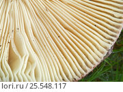 Купить «Close up of toadstool gills», фото № 25548117, снято 22 июля 2018 г. (c) Nature Picture Library / Фотобанк Лори
