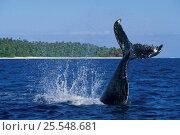 Купить «Humpback whale calf tail-lobbing {Megaptera novaeangliae} off Tonga South Pacific (Non-ex).», фото № 25548681, снято 18 июля 2018 г. (c) Nature Picture Library / Фотобанк Лори