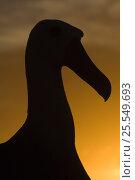 Купить «Silhouette of Waved albatross (Phoebastria irrorata) Punto Cevallos, Española (Hood) Island, Galapagos islands, Equador, South America», фото № 25549693, снято 17 июня 2019 г. (c) Nature Picture Library / Фотобанк Лори