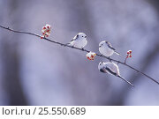 Купить «Long-tailed Tits {Aegithalos caudatus} resting on a {Celastrus orbiculatus} branch, Hokkaido, Japan», фото № 25550689, снято 25 апреля 2018 г. (c) Nature Picture Library / Фотобанк Лори