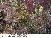 Sea Spider {Pantopoda sp} Izu, Shizuoka, Japan. Стоковое фото, фотограф Nature Production / Nature Picture Library / Фотобанк Лори