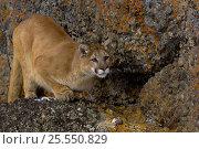 Cougar / Mountain Lion / Puma {Felis concolor} on rocks, captive, Montana, USA. Стоковое фото, фотограф Dave Watts / Nature Picture Library / Фотобанк Лори