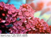Купить «Blooming dark red lilac flowers under soft light», фото № 25551605, снято 23 мая 2016 г. (c) Зезелина Марина / Фотобанк Лори