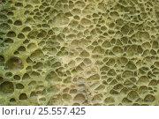 Купить «Фон пористый камень», фото № 25557425, снято 13 августа 2016 г. (c) Евгений Рашевский / Фотобанк Лори
