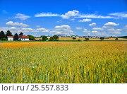 Поле зреющей пшеницы в солнечный летний день. Вимпассинг на Лайте. Австрия. Стоковое фото, фотограф Bala-Kate / Фотобанк Лори