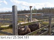 Два страуса стоят за оградой в зоопарке. Стоковое фото, фотограф Юлия Юриева / Фотобанк Лори