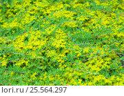 Купить «Очиток едкий (Sedum acre), фон», фото № 25564297, снято 31 мая 2016 г. (c) Диана Должикова / Фотобанк Лори
