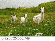 Три козлёнка на зелёном лугу лето. Стоковое фото, фотограф Светлана Булычева / Фотобанк Лори