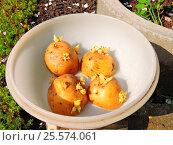 Купить «Проросший картофель перед посадкой прогревается на солнце», эксклюзивное фото № 25574061, снято 22 мая 2015 г. (c) lana1501 / Фотобанк Лори