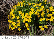 Цветет калужница болотная. Стоковое фото, фотограф Геннадий Окатов / Фотобанк Лори