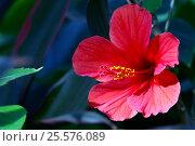 Китайская роза (Red rosan) Стоковое фото, фотограф Владимир Борисов / Фотобанк Лори