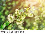 Купить «Spring nature - yellow fluffy buds of willow», фото № 25580365, снято 5 мая 2016 г. (c) Зезелина Марина / Фотобанк Лори
