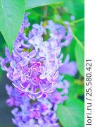 Купить «Blooming lilac flowers», фото № 25580421, снято 17 мая 2016 г. (c) Зезелина Марина / Фотобанк Лори