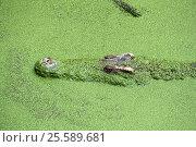 Head of crocodile in green slime. Стоковое фото, фотограф Михаил Коханчиков / Фотобанк Лори