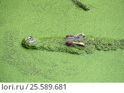 Купить «Head of crocodile in green slime», фото № 25589681, снято 9 января 2017 г. (c) Михаил Коханчиков / Фотобанк Лори