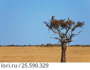 Pair of white-backed vultures sitting on dry wood. Стоковое фото, фотограф Сергей Новиков / Фотобанк Лори
