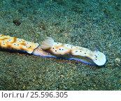 Голожаберные моллюски, остров Бали, Ловина риф, Индонезия. Стоковое фото, фотограф Александр Огурцов / Фотобанк Лори