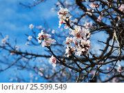 Купить «Sweet cherry tree blossoming in spring», фото № 25599549, снято 31 января 2016 г. (c) Яков Филимонов / Фотобанк Лори