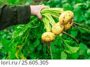 Купить «Female hand holding young turnips», фото № 25605305, снято 12 сентября 2015 г. (c) Ярочкин Сергей / Фотобанк Лори
