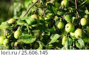 Купить «Small wild apples on the tree», видеоролик № 25606145, снято 23 февраля 2017 г. (c) Володина Ольга / Фотобанк Лори