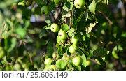 Купить «Small wild apples on the tree», видеоролик № 25606149, снято 23 февраля 2017 г. (c) Володина Ольга / Фотобанк Лори