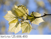 Клен зеленокорый (Acer tegmentosum). Молодые листья и цветы на фоне голубого неба, фото № 25606493, снято 11 мая 2015 г. (c) Юлия Бабкина / Фотобанк Лори