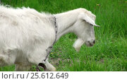 Купить «Goat on green meadow», видеоролик № 25612649, снято 3 февраля 2012 г. (c) Андрей Зык / Фотобанк Лори