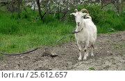 Купить «Goat on green meadow», видеоролик № 25612657, снято 3 февраля 2012 г. (c) Андрей Зык / Фотобанк Лори