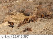 Horses grazing on the slope of a mountain. Стоковое фото, фотограф Михаил Пряхин / Фотобанк Лори