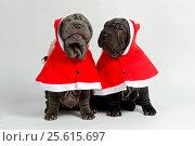 A couple of shar-pei puppies wearing Santa coats and hats against white background (2014 год). Редакционное фото, фотограф Мария Сидельникова / Фотобанк Лори