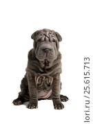 Grey cute shar-pei puppy sitting and looking at camera, isolated at white background. Стоковое фото, фотограф Мария Сидельникова / Фотобанк Лори