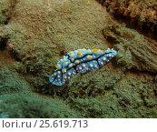 Голожаберный моллюск, остров Бали, Ловина риф, Индонезия. Стоковое фото, фотограф Александр Огурцов / Фотобанк Лори
