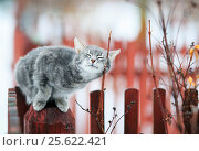 Tabby cat fondled on a branch in spring on a fence in the village. Стоковое фото, фотограф Бачкова Наталья / Фотобанк Лори