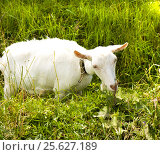 Купить «White goat in grass», фото № 25627189, снято 9 июля 2013 г. (c) ИВА Афонская / Фотобанк Лори