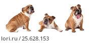 Купить «English Bulldog over white», фото № 25628153, снято 14 февраля 2016 г. (c) Алексей Кузнецов / Фотобанк Лори